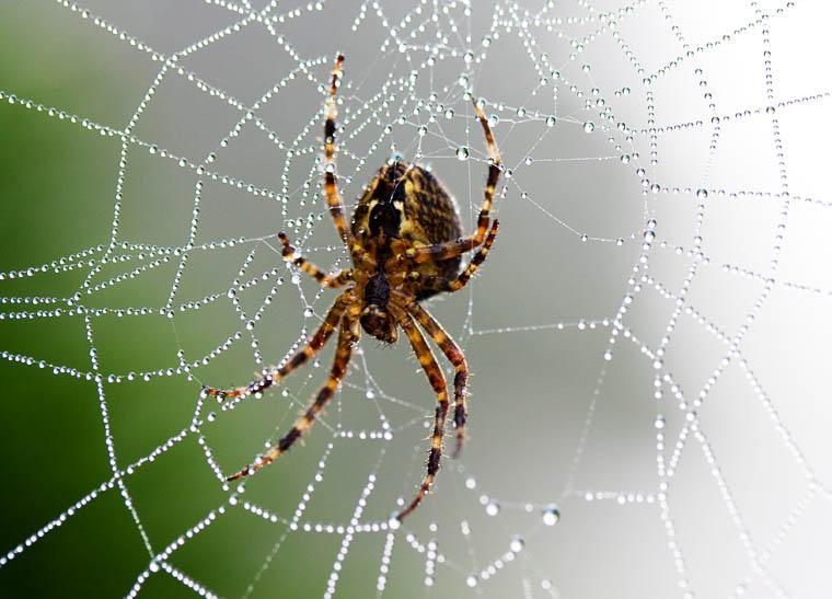 Garden-spider-1